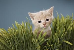 A cute kitten walking through the grass