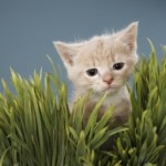 A cute kitten walking through the grass